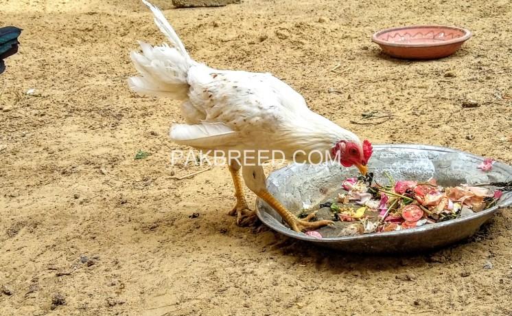 2-desi-rooster-big-1
