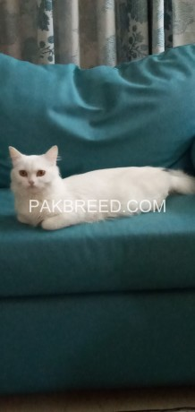 persian-cat-with-her-kittens-big-0