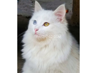 Khao Manee Thailand Breed (Male)