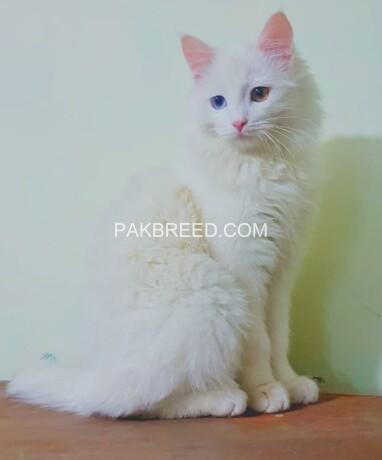 khao-manee-thailand-breed-male-big-1