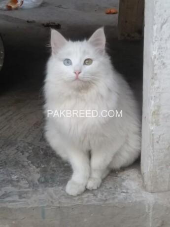 khao-manee-thailand-breed-male-big-2