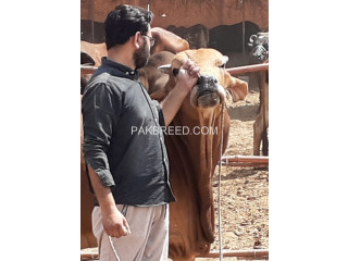 Sahiwaal breed bull. Qurbani 2020.