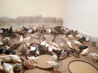 70 days Golden Misri Chicks Available For Sell