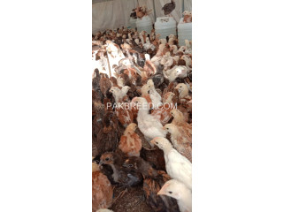 41 Days Old Misri Chicks Available For Sell
