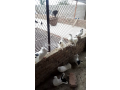 pigeons-like-a-10piece-sherazi-and-5piece-lucky-plus-egss-and-chicks-small-4