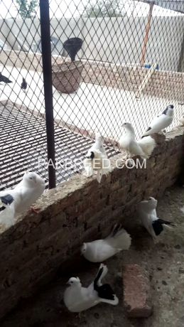 pigeons-like-a-10piece-sherazi-and-5piece-lucky-plus-egss-and-chicks-big-4