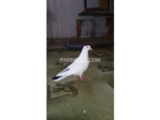 Fancy pigeon pair for sale