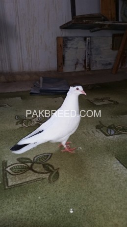 fancy-pigeon-pair-for-sale-big-0