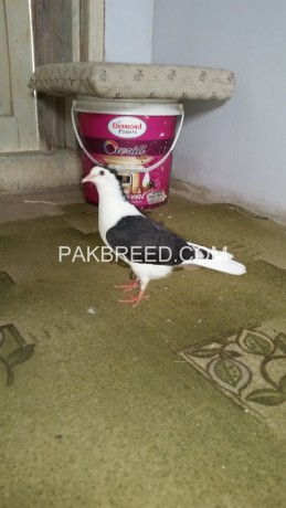fancy-pigeon-pair-for-sale-big-1