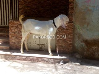 Rajanpuri gulabi goat available for Qurbani