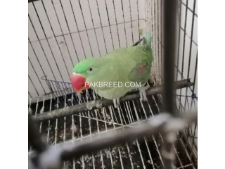 Raw parrot for sale