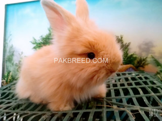 Angora Rabbit Bunnies