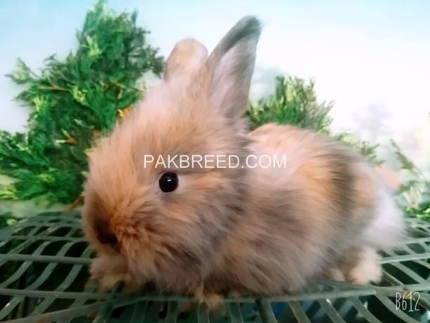angora-rabbit-bunnies-big-2