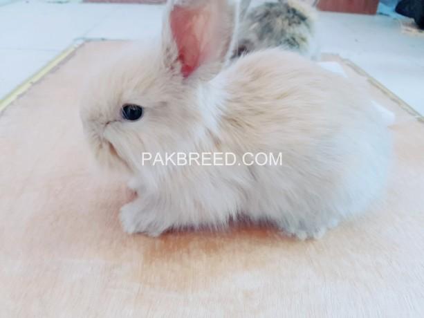 angora-rabbit-bunnies-big-3