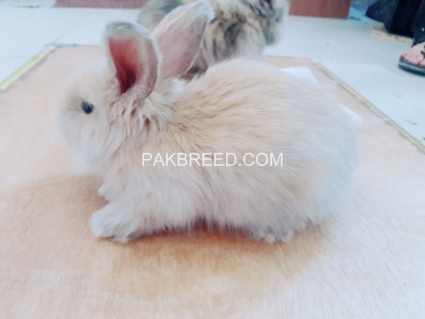 angora-rabbit-bunnies-big-4