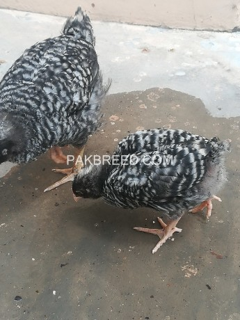 plymouth-rock-pure-chiks-conform-pair-big-4