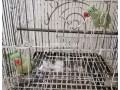 raw-parrot-for-sale-in-lahore-small-2