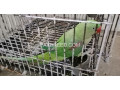 raw-parrot-for-sale-in-lahore-small-1