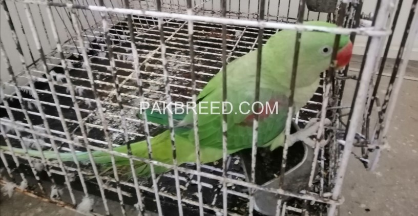 raw-parrot-for-sale-in-lahore-big-1