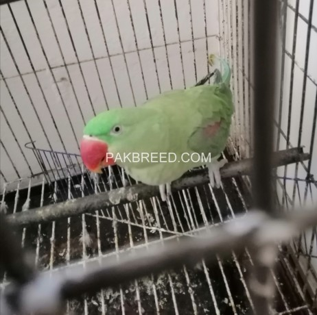 raw-parrot-for-sale-in-lahore-big-0