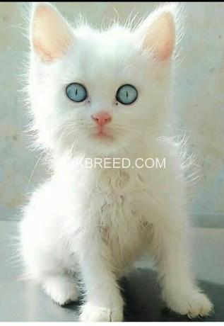 kitten-for-sale-big-0