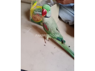 Talking Raw Male Parrot