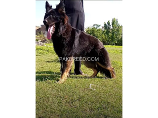 King shephard male 8 months black mask