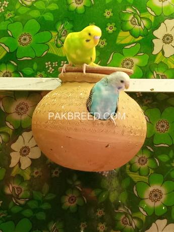 australian-parrots-big-1