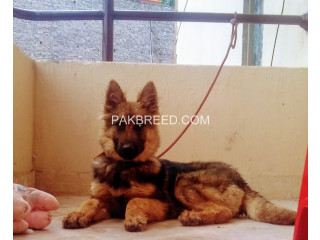 Outstanding Long coated German Shepherd