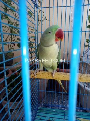 raw-parrot-big-0