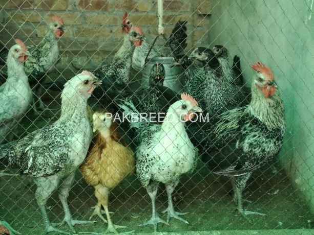 golden-misri-3-months-old-for-sale-very-healthy-and-active-birds-with-complete-vaccine-shedule-only-series-buyer-contact-with-me-big-1