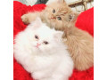 chintu-and-minky-for-sale-small-0