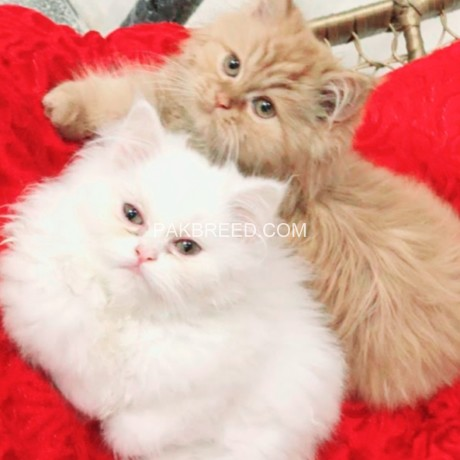 chintu-and-minky-for-sale-big-0