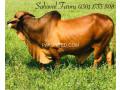 sahiwal-breed-ideal-for-qurbani-small-2