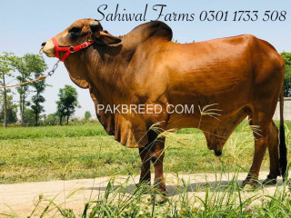 Sahiwal Breed ideal for Qurbani
