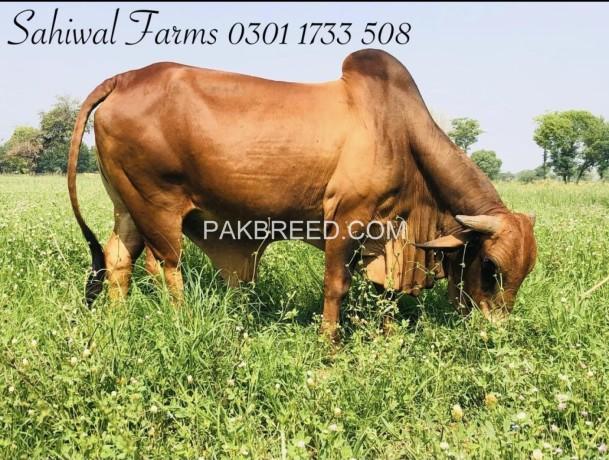 sahiwal-breed-ideal-for-qurbani-big-3