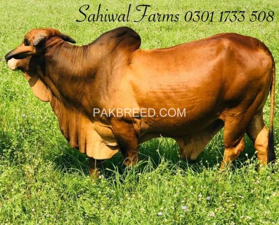 sahiwal-breed-ideal-for-qurbani-big-2