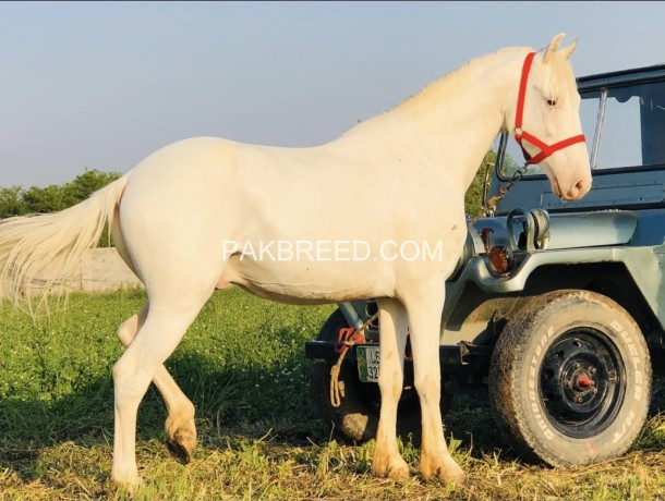 nukra-desi-100-white-spotless-big-2