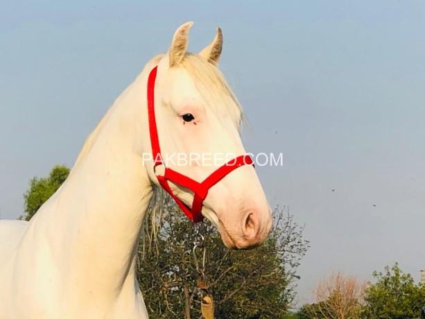 nukra-desi-100-white-spotless-big-1