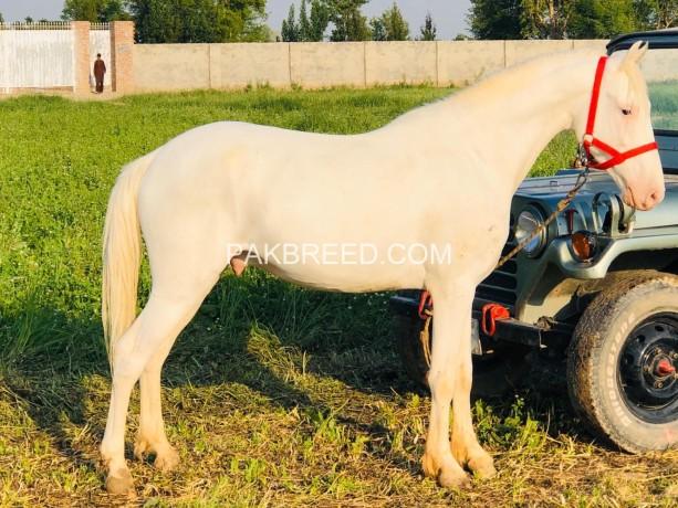 nukra-desi-100-white-spotless-big-4