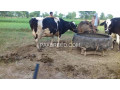 cows-small-1