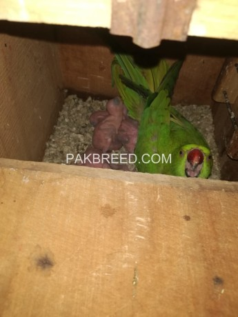 ringneck-breeder-pair-for-sale-sub-breeder-hn-big-0