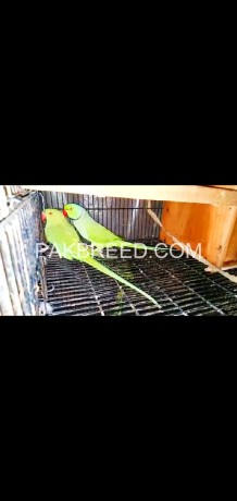 ringneck-breeder-pair-for-sale-sub-breeder-hn-big-1