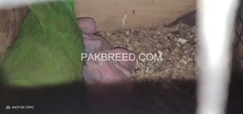 ringneck-breeder-pair-for-sale-sub-breeder-hn-big-2