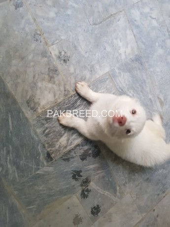 russian-female-puppy-for-sale-big-3