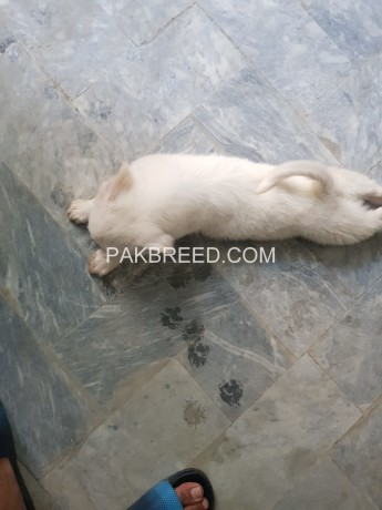 russian-female-puppy-for-sale-big-0