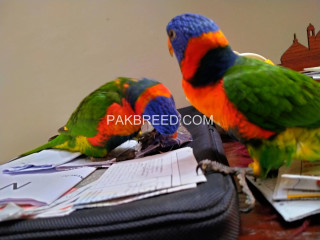 Red Collar Lorikeet