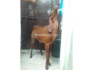 For sale bakri