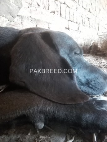 pure-english-pointer-for-sale-big-0