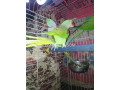 parrot-small-1